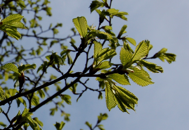 ulmus accolade backlit