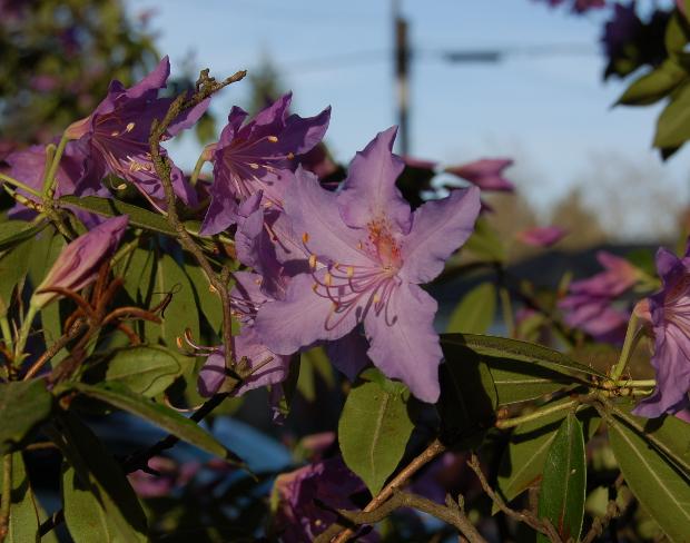 azalea lavender