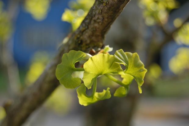 baby ginkgo biloba leaves