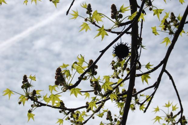 baby liquidambar styraciflua sweetgum leaves