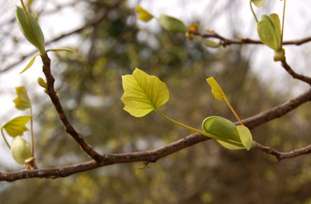 baby liriodendron tulipifera tulip poplar leaves