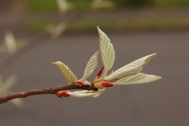 baby malus tschonoskii crabapple leaves