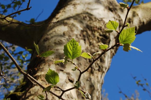 baby platanus planetree leaves