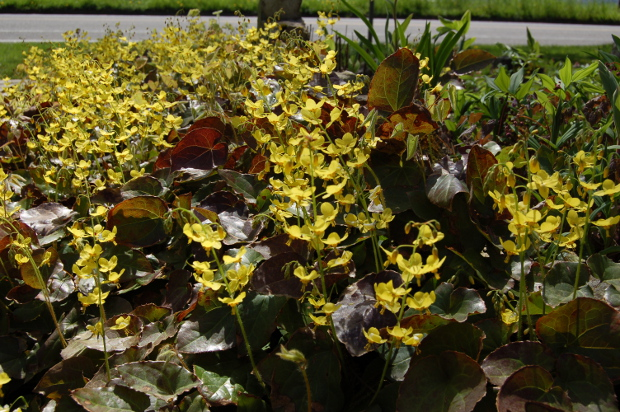epimedium yellow barrenwort backlit