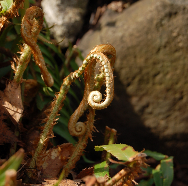 ferns unfurling
