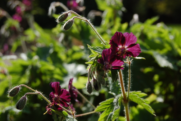 geranium phaeum mourning widow backlit