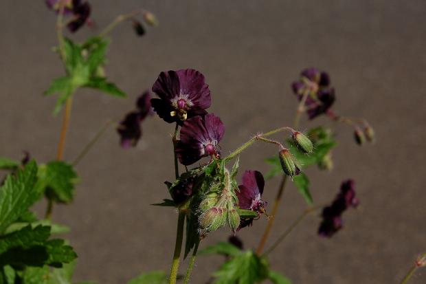 geranium phaeum mourning widow