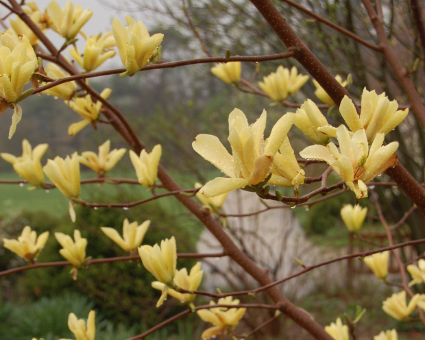 Eight Of The First Early Blooming Magnolias For Spring Color The