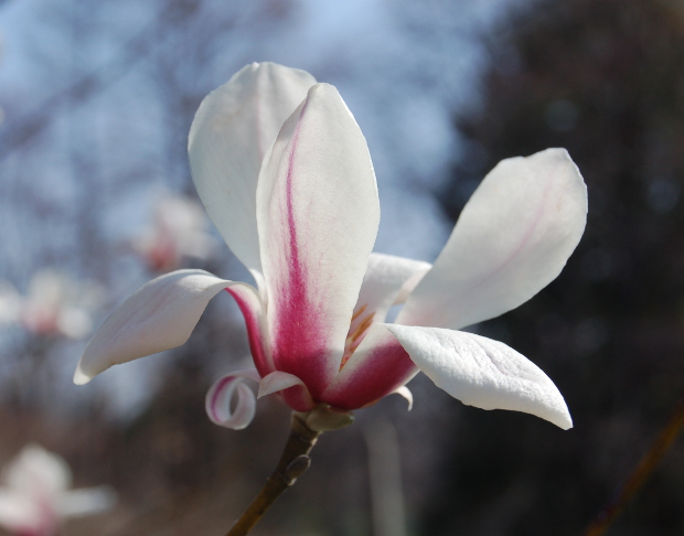 Mad about Magnolias: Eight Early-Bloomers