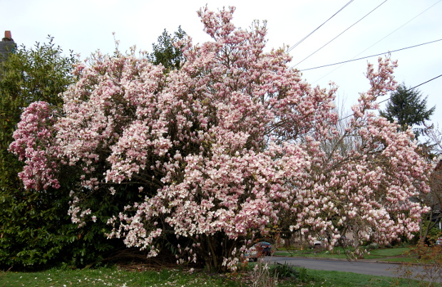 eight of the first early blooming magnolias for spring. Black Bedroom Furniture Sets. Home Design Ideas