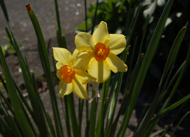narcissus daffodil backlit