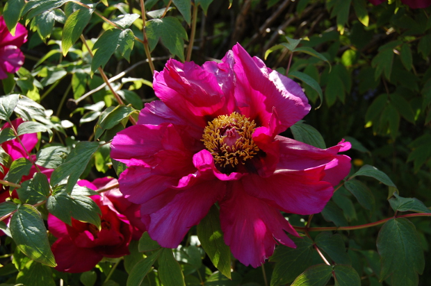 paeonia suffruticosa tree peony purple no glare