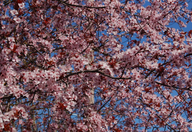 prunus cerasifera plum