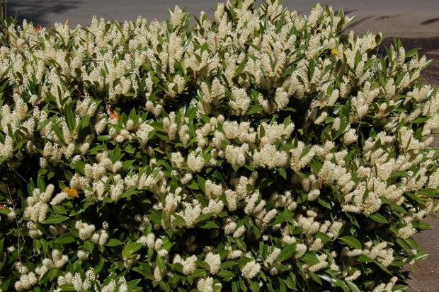 prunus laurocerasus cherrylaurel