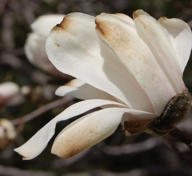 toasted magnolia