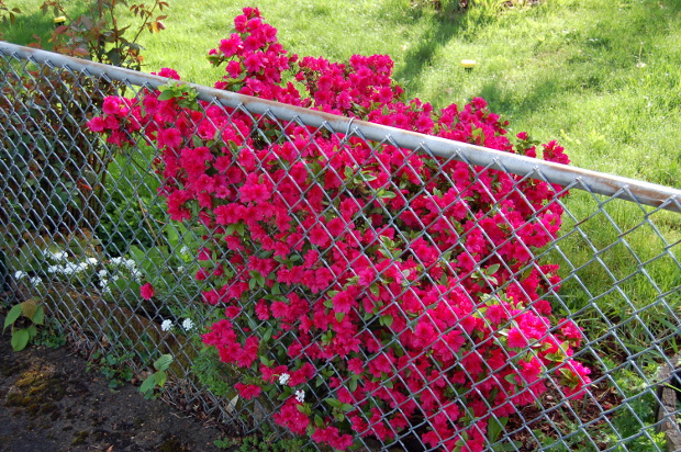 azalea imprisoned behind chainlink fence