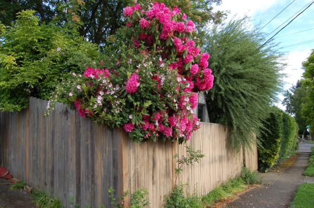 garden spills over privacy fence