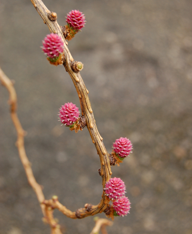 larix decidua larch flowers