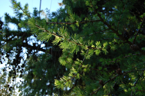 larix larch foliage