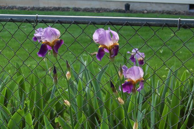 passalong iris2