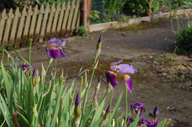 passalong iris3