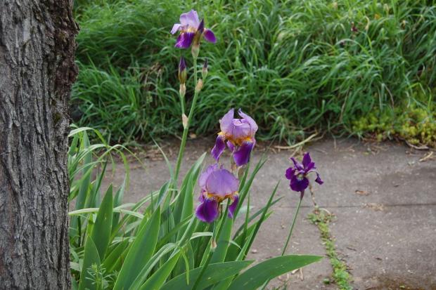 passalong iris4