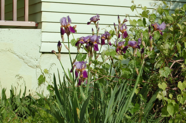 passalong iris6