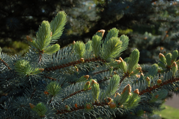picea pungens glauca colorado blue spruce leafing