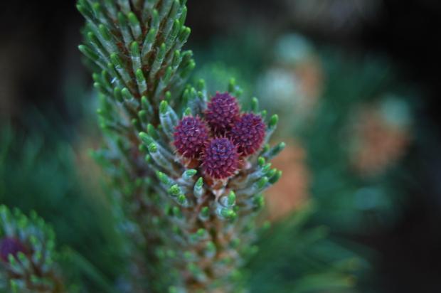 pinus mugo pine flowers