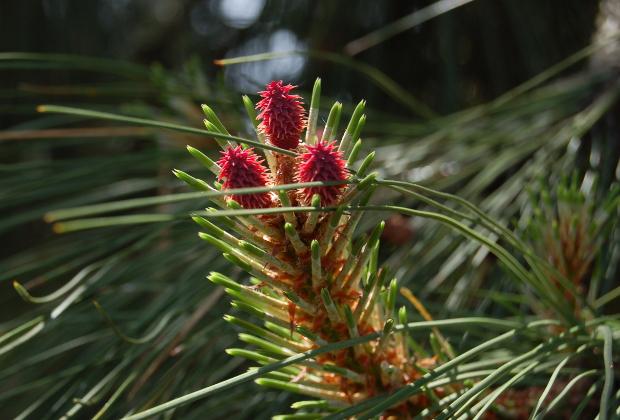 pinus ponderosa flowers