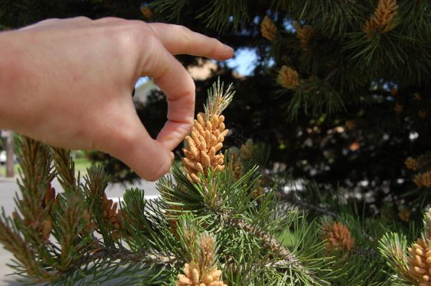 pinus sylvestris scots pine flick it