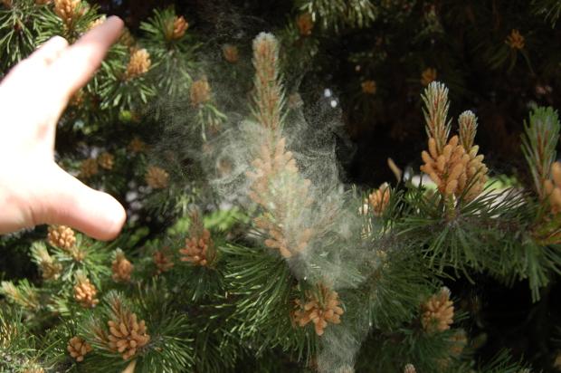 Pinus Sylvestris Pollen Pinus Sylvestris Scots Pine