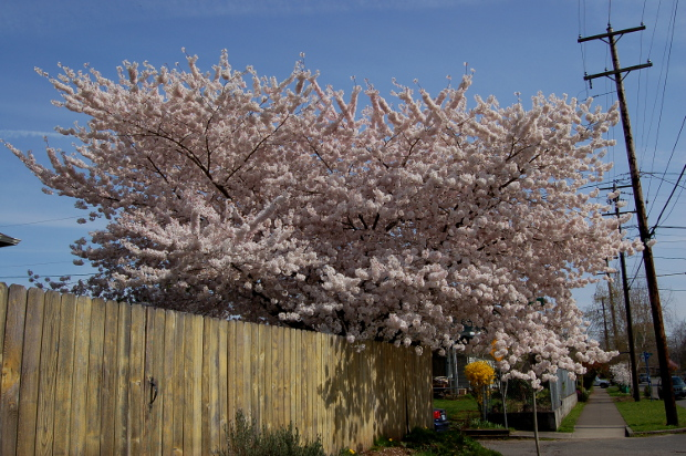 prunus yedoensis over fence