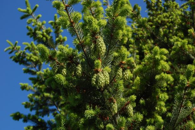 pseudotsuga menziesii douglas fir green cones