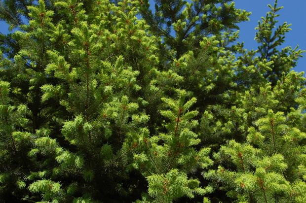 pseudotsuga menziesii douglas fir leafing out
