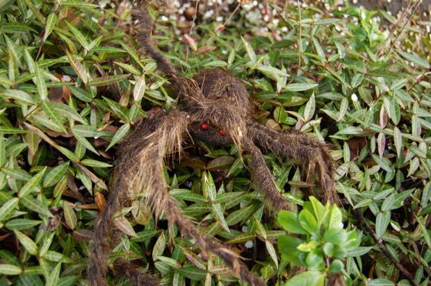 spider in the jasmine