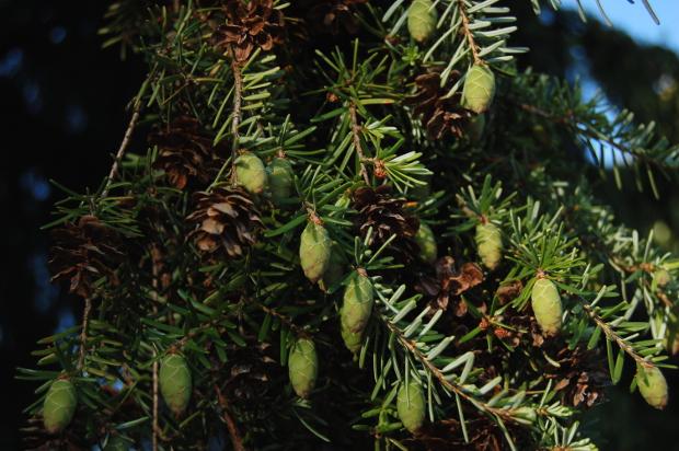tsuga heterophylla western hemlock green cones
