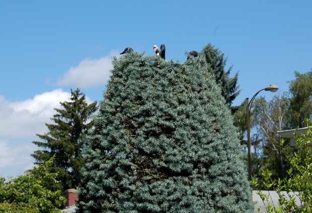 geese in a spruce tree