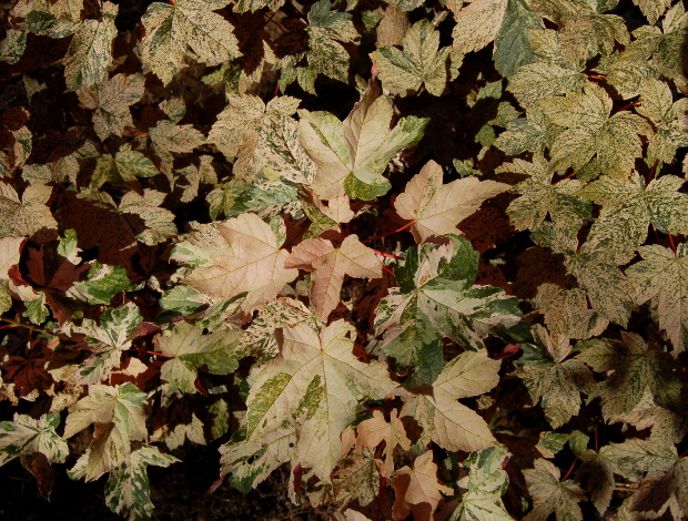 acer pseudoplatanus eskimo sunset maple foliage