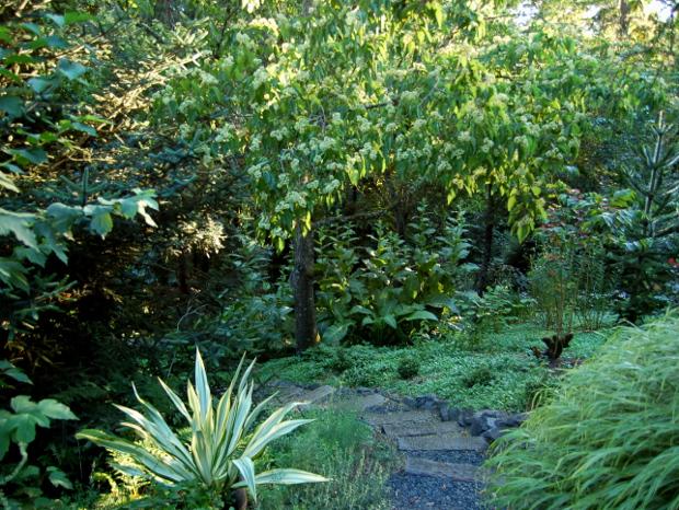 old germantown gardens hovenia dulcis