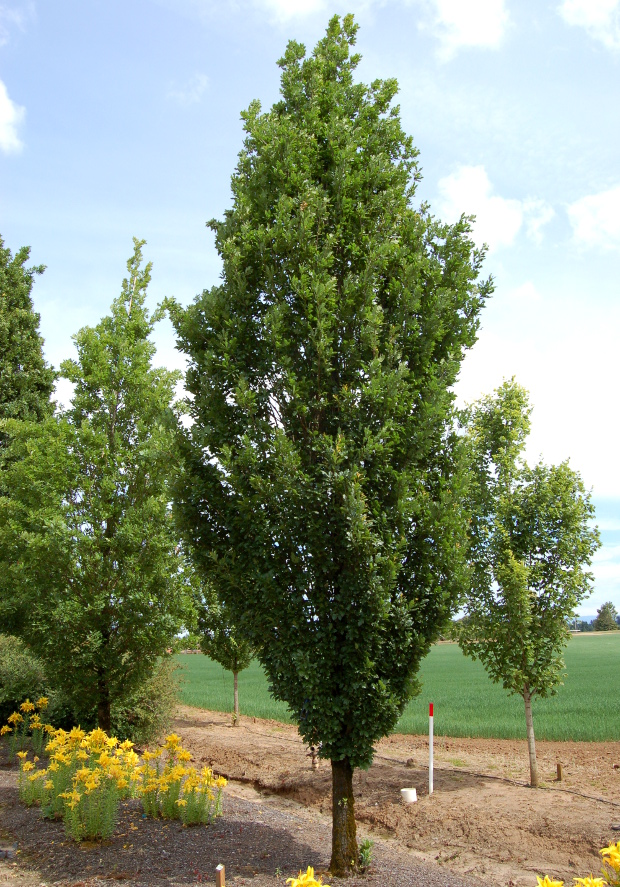 skinny genes oak from j frank schmidt nursery