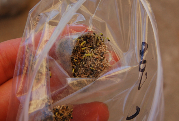 stratified seeds sprouting in the bag
