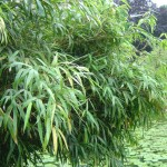 When Does Bamboo Bloom?  The Answer Will Blow Your Mind