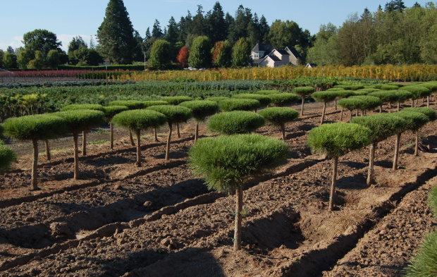 bountiful farms grafted pines