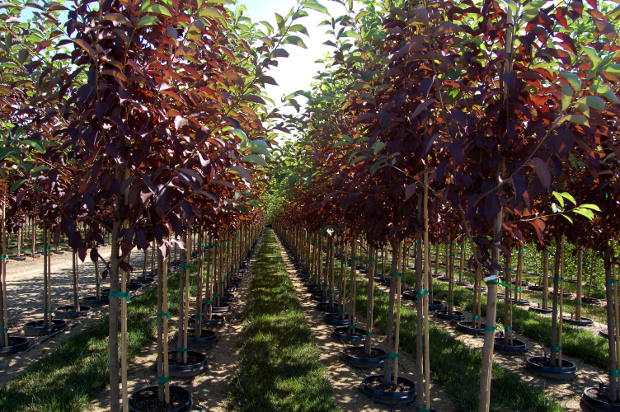kck farms canada red chokecherry