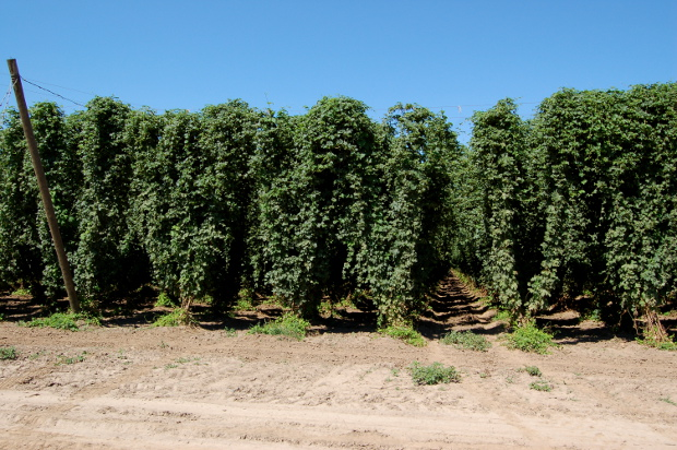 kg farms hops country