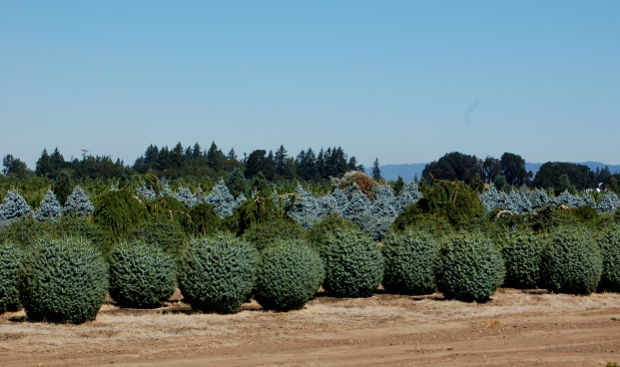 kg farms picea sitchensis papoose