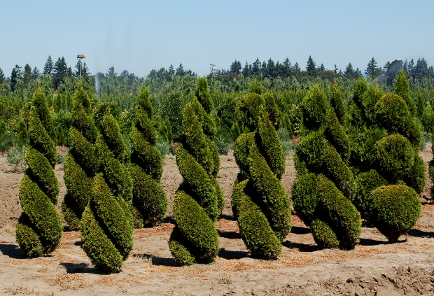 kg farms spiral arborvitae specimens