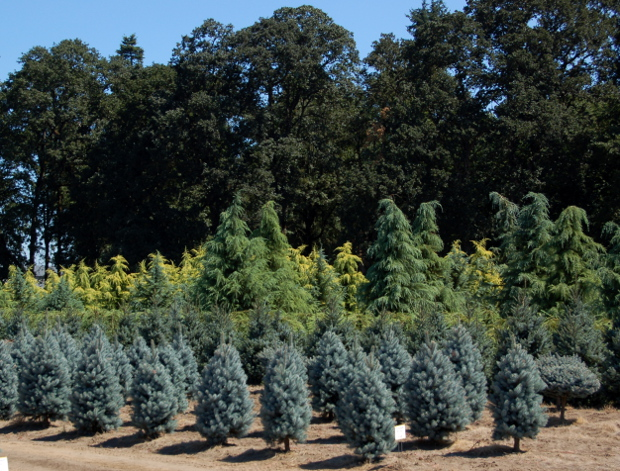 kg farms spruce and cedars
