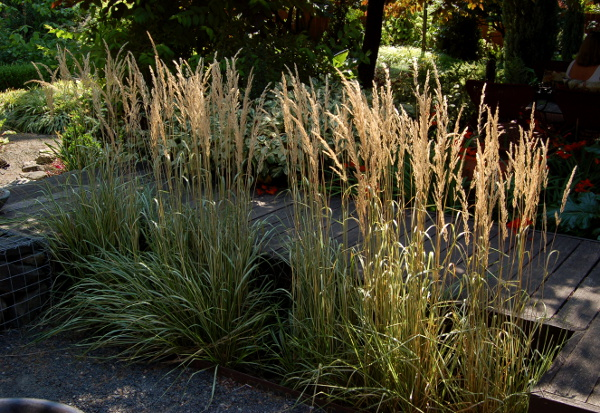 calamagrostis avalanche in the sunlight